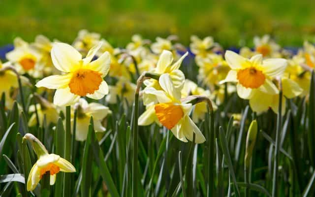 Żonkil (narcyz żonkil) – sadzenie, uprawa, pielęgnacja