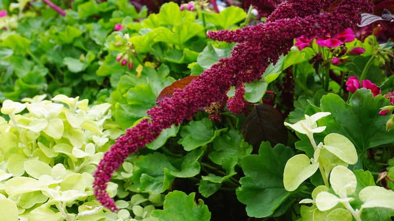 Szarłat zwisły - opis, sadzenie, uprawa, pielęgnacja, porady praktyczne