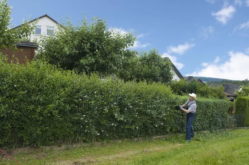 Żywopłot z ligustra – najlepsze odmiany, sadzenie, rozstaw, rozmnażanie, przycinanie