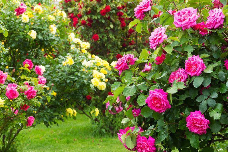 Wielobarwne krzewy róży ogrodwowej, czyli pielęgnacja, sadzenie, hodowla - porady oraz omiany i rodzaje róż