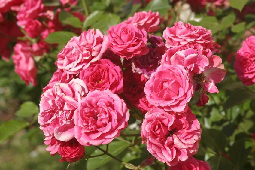 Róże ogrodowe to fenomenalne kwiaty, które zachwycają swoim pokrojem, zapachem i wyglądem. Ich pielęgnacja bywa dość wymagająca, jednak warto się zaangażować w ich uprawę.