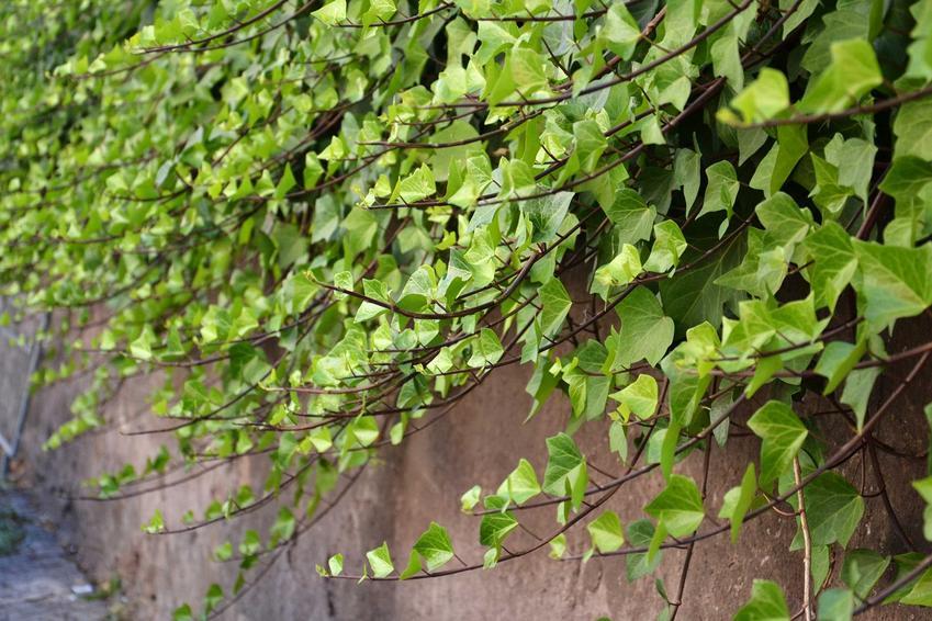 Bluszcz w ogrodzie wspaniale wygląda. Nadaje się na ogrodzenia i balustrady, a sadzenie i uprawa nie wymaga wysiłku.