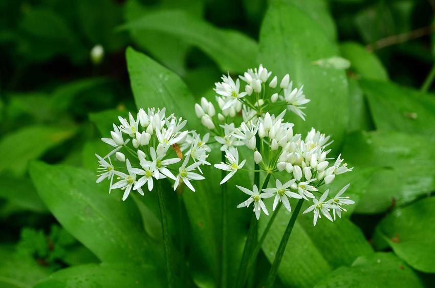 Roślina czosnku niedźwiedziego z białymi kwiatami i zielonymi liśćmi, a także zastosowanie, uprawa i właściwości lecznicze