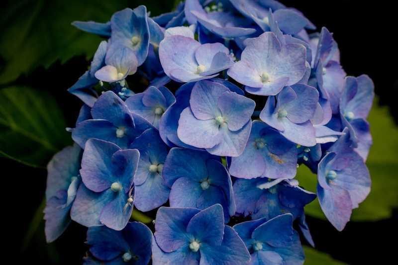 Kwiat hortensji bukietowej, czyli odmiany, rodzaje hartensji uprawianej w ogrodzie i w doniczce oraz warunki uprawy, wymagania, pielęgnacja - porady