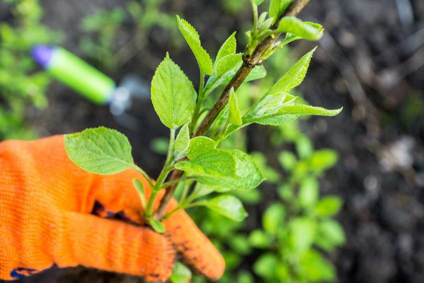 Rozmnażanie hortensji przeprowadza się z poboru lekko zdrewniałych sadzonek pędowych, które łatwo i szybko się ukorzeniają. Wystarczy jeden rok, by rozmnożyć hortensję