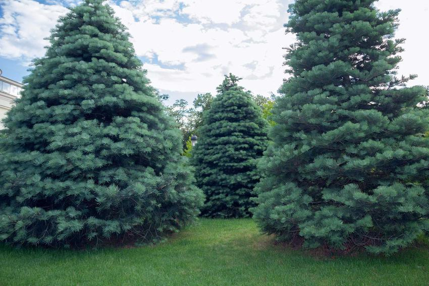 Odmiany jodły są bardzo atrakcyjne, dobrze prezentują się w ogrodzie. Mają bardzo ładnie wybarwione igły i wspaniale się prezentują.
