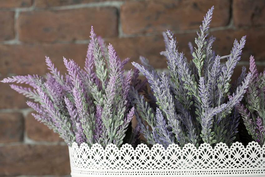 Lawenda wąskolistna uprawiana w domu także może mieć właściwości lecznicze. Wpływa na wiele czynników, jej wspaniały zapach także ma właściwości terapeutyczne.