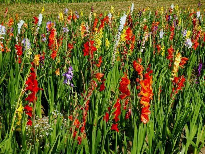 Mieczniki (gladiole) w ogrodzie o róznych kwiatach, a także sadzenie, pielęgnacja i uprawa roślin w ogrodzie krok po kroku