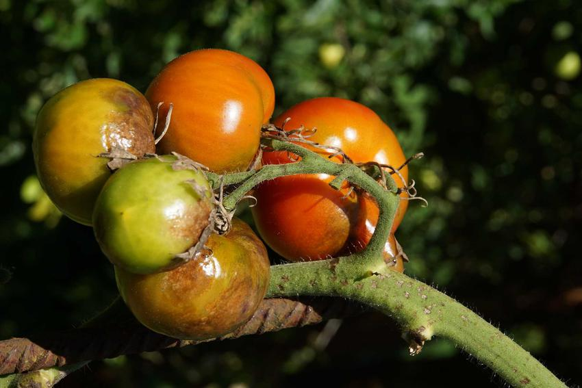 Choroba pomidorów, która bardzo daje się we znaki to zaraza ziemniaczana. Wpływa na owoce, zmniejszając zbiór.