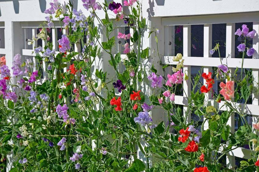 Kwiaty na nasłoneczniony balkon to wszystkie te, które intensywnie kwitną i są bardzo mocno wybarwione. Pnącza kwitnące na balkon także świetnie się sprawdzają