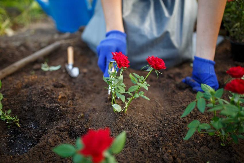 Róże rabatowe cieszą się bardzo dużym powodzeniem. Są przepiękne i ładnie się prezentują w każdym ogrodzie. Niektóre odmiany sa bogatsze i mają ciekawe kolory
