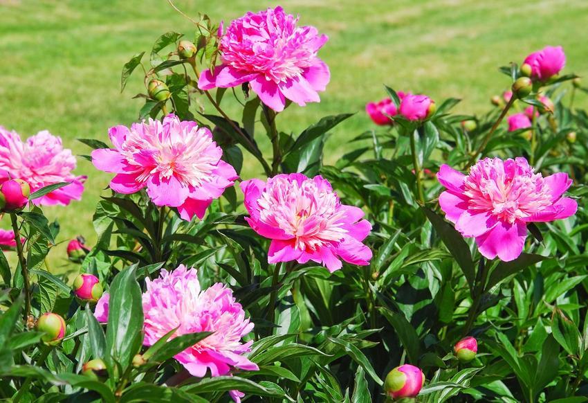 Piwonia drzewiasta to roślina szczepiona na pniu, ma gęste, bardzo gęsto ukwiecone pędy, na szczycie których pojawiają się duże, różowe kwiaty.
