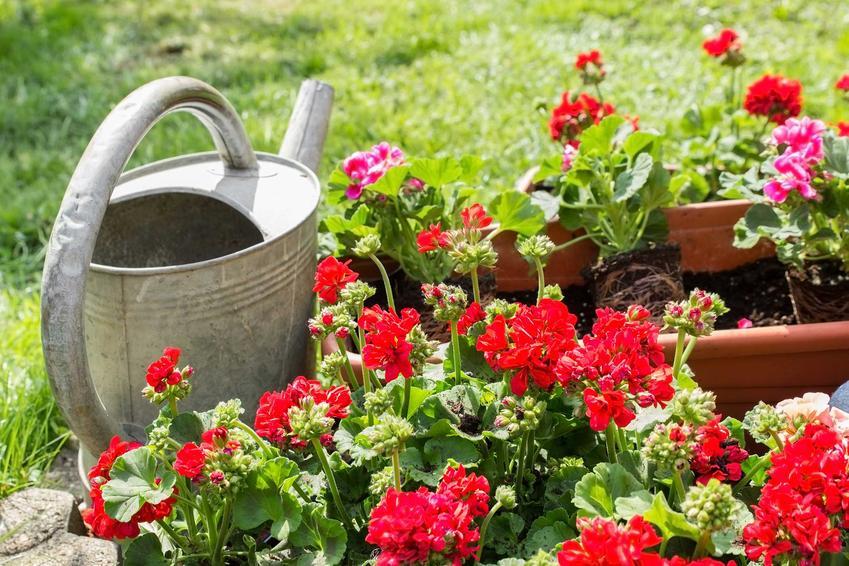 Pelargonia rabatowa jest rzadziej spotykana, niż pelargodnia na balkon. Jednak niektóre odmiany dobrze sprawdzają się w gruncie, a ich pielęgnacja i uprawa nie są skomplikowane