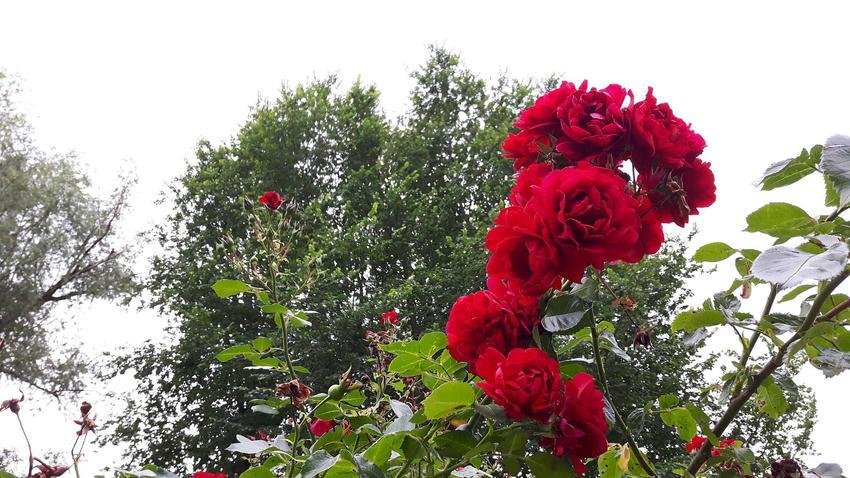Pielęgnacja i sadzenie róż pnących nie jest trudne. Należy umieścić je przy odpowiednich pergolach, na łukach czy balustradach