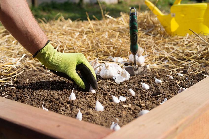 Jak i kiedy sadzić czosnek? Poradnik praktyczny