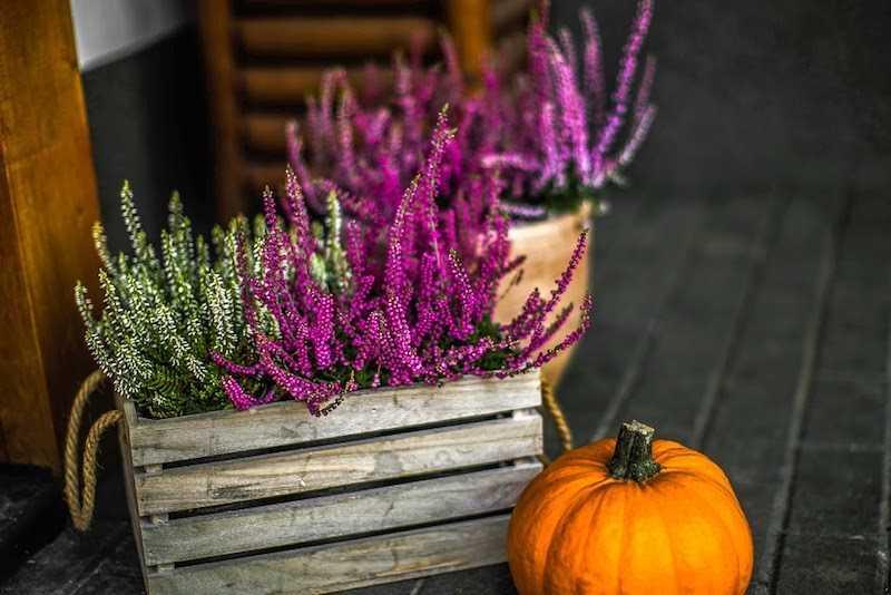 Kompozycja kwitnących wrzosów, wymagania, uprawa, pielęgnacja, podlewanie i sadzenie wrzosów w doniczkach w domu