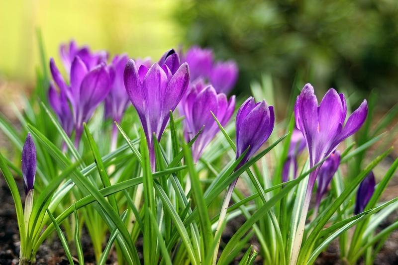 Wiosenne krokusy o fioletowych liściach, a także inne wspaniałe rośliny wiosenne do ogrodu, porady, zastosowanie, gatunki