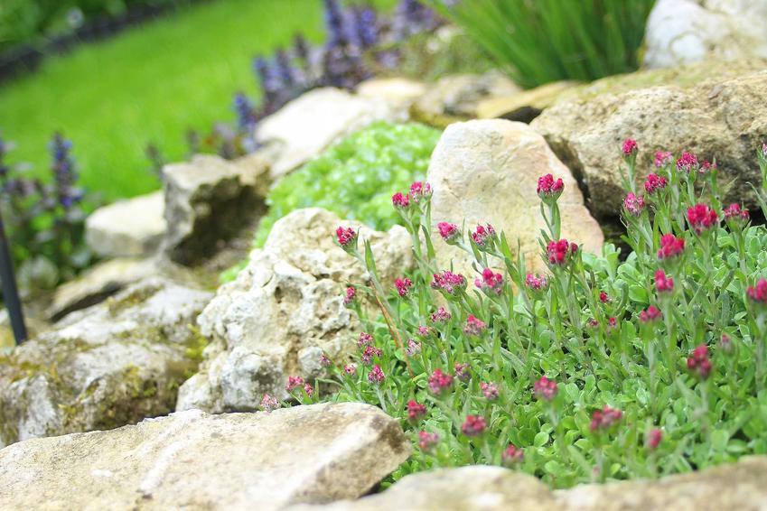 Rozchodniki to najlepsze rośliny na skalniak. Warto je zasadzić na skalniaku w ogrodzie, dzięki czemu wspaniale będą się prezentować. Warto je zawrzeć w projekcie skalniaków.