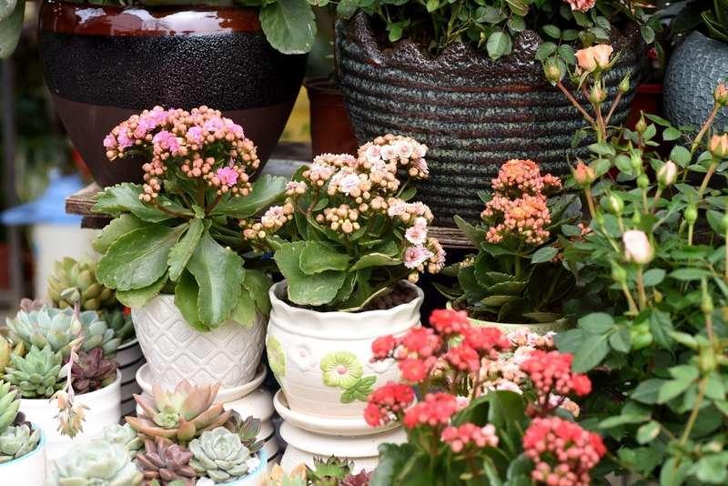 Piękne kwiaty kalanchoe w donicach w ogrodzie, a także wybór doniczek do ogrodu ze względu na rodzaj kwiatów