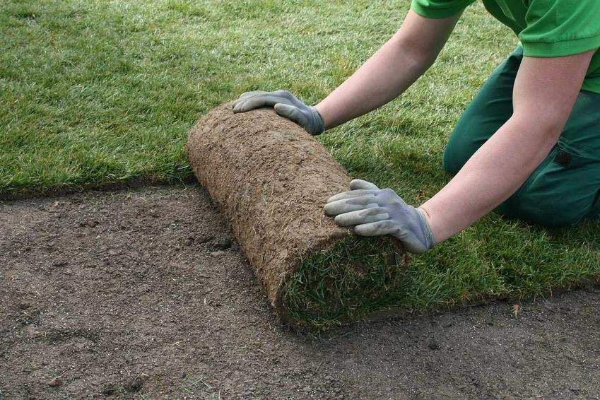 Trawa z rolki rozkładana w ogrodzie przez fachowca - ogrodnika w stroju roboczym na przygotowanym wcześniej podlożu obok ułożonych już rolek trawy