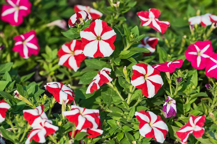 Surfinia dwubarwna w doniczce o zwisających pędach, mocno obsypana lejkowatymi kwiatami to niezwykła dekoracja każdego ogrodu i balkonu