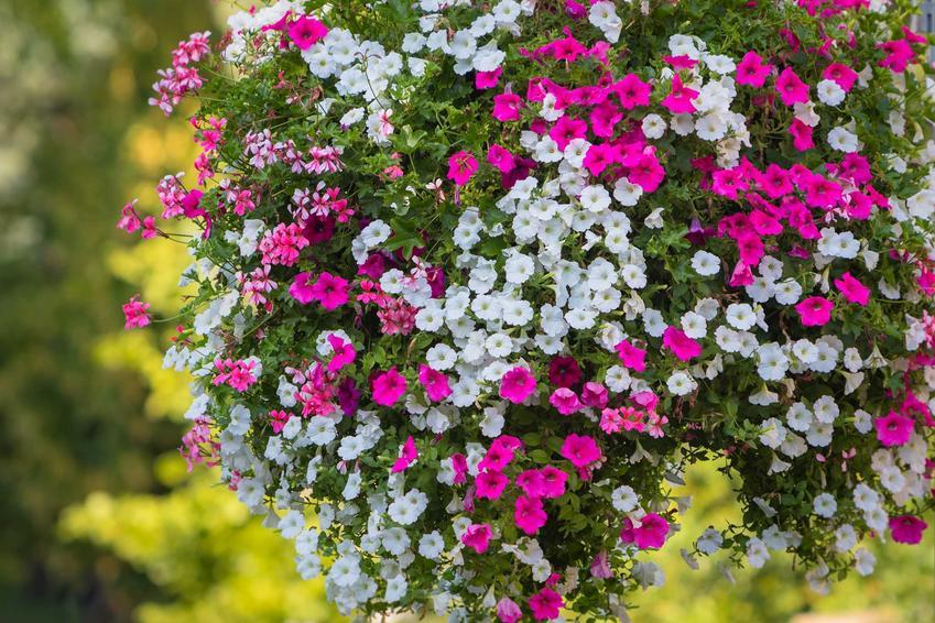 Petunie o dwóch kolorach kwiatów w poprzeczne pasy są niezwykle dekoracyjne. Dwubarwne odmiany petuni są obecnie najbardziej popularne w ogrodzie i na balkonie.
