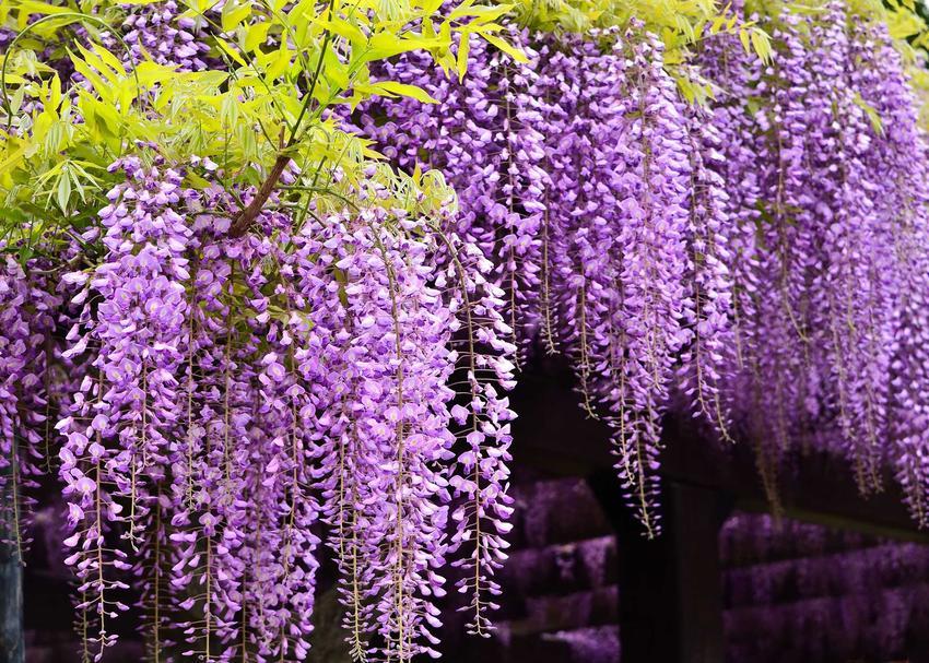 Glicynia japońska to pnącze, które potrzebuje podpór, ale przepięknie prezentuje się w różnych miejscach, zwłaszcza gdy jest odpowiednio pielęgnowana.