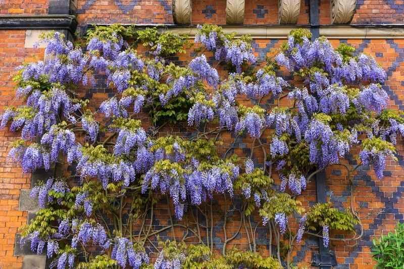 Glicynia, czyli pnącze o różowych kwiatach, na ścianie domu, a także uprawa, sadzenie, pielęgnacja oraz przycinanie krok po kroku