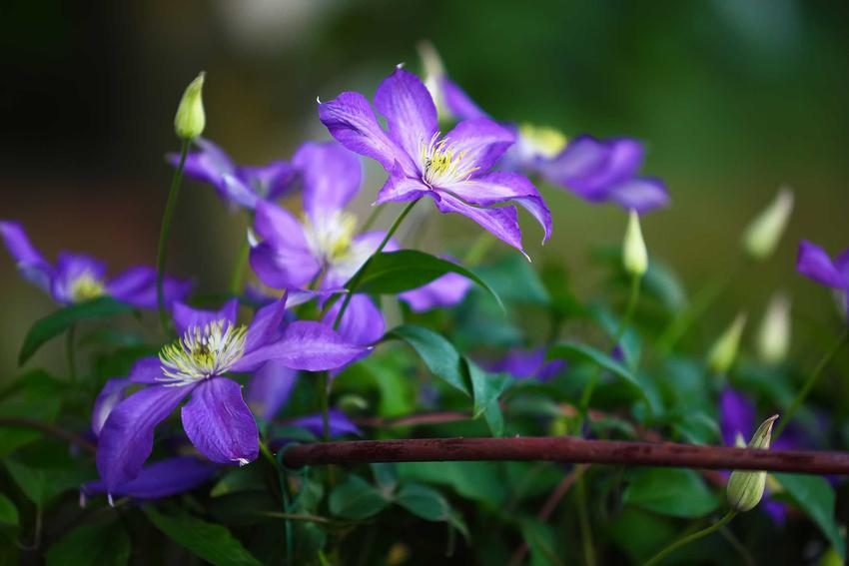 Powojnik (clematis) - odmiany, sadzenie, uprawa, pielęgnacja