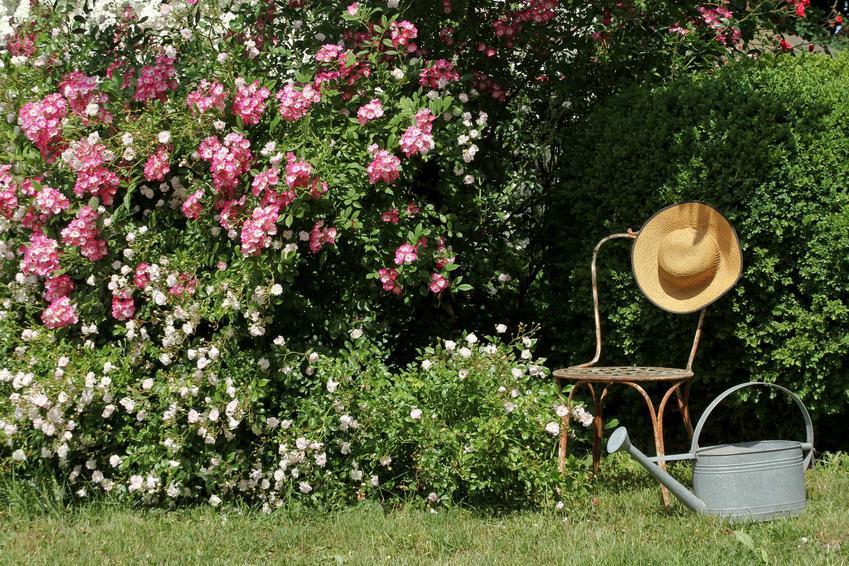Róże okrywowe w ogrodzie wspaniale się prezentują. Wymagają jednak pielęgnacji, a ich uprawa nie zawsze jest łatwa, wymagają regularnego nawożenia.