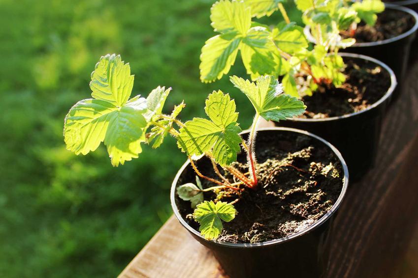 Sadzonki truskawek powinny być dobrze wyrośnięte. Najczęściej używa się sadzonek w doniczkach, ulistnionych, czasami nawet z zawiązanymi kwiatami