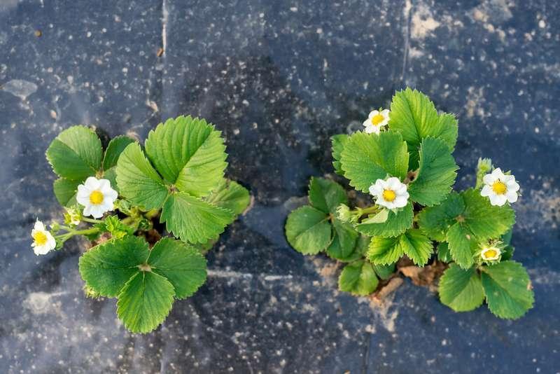 Sadzenie i uprawa truskawek krok po kroku nie jest trudna - pielęgnacja sadzonek, podlewanie oraz odchwaszanie w ogorodzie