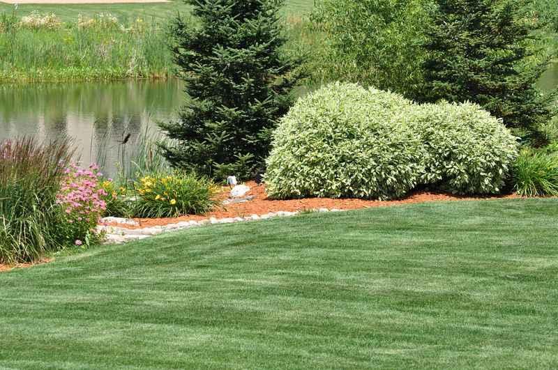 Krzew derenia białego  w kompozycji ogrodowej, czyli sadzenie, stanowisko, pielęgnacja, uprawa derenia białego - porady