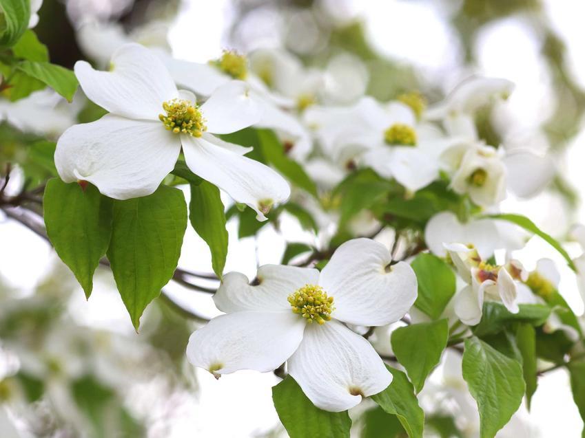 Dereń biały ma przepiękne kwiaty. Są bardzo delikatne, dzięki czemu roślina wspaniale się prezentuje. Krzew można zasadzić niemal w każdym rodzaju gleby.