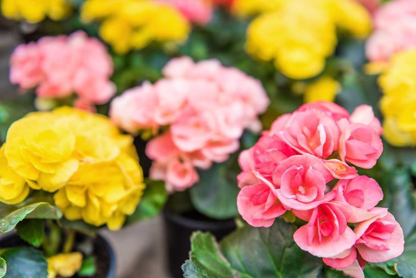 Begonia bulwiasta wyróżnia się pięknymi, pełnymi kwiatami w różnych kolorach. Tak jak begonia stale kwitnąca może być uprawiana w doniczkach.