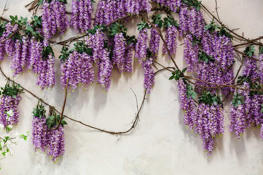 Glicynia chińska to przepiękne pnącze, które wspaniale prezentuje się na ścianach, pergolach i różnego rodzaju innych podporach
