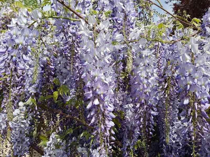Glicynia chińska w ogrodzie, a także uprawa, pielęgnacja, wymagania i sposób sadzenia w ogrodzie krok po kroku