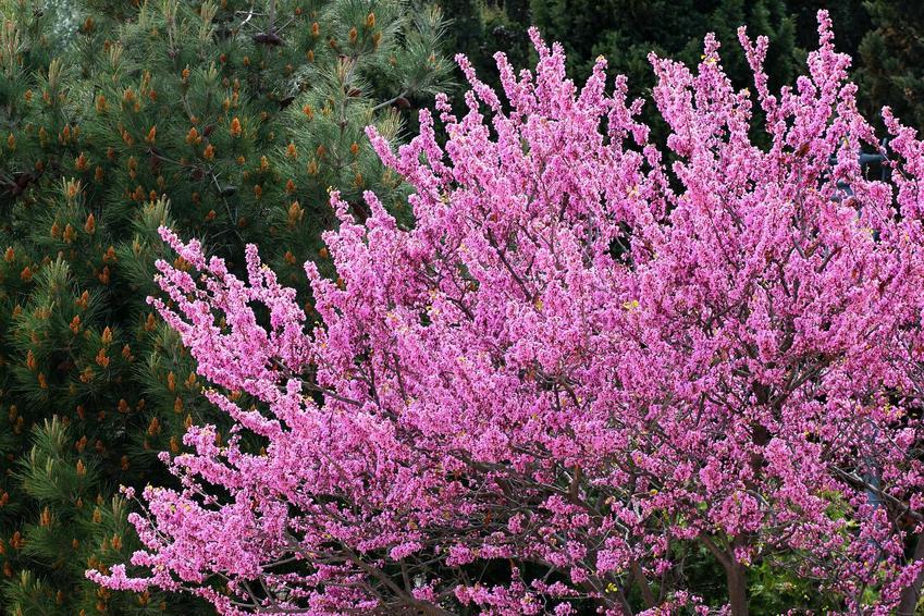 Kwiat judaszowiec potrzebuje bardzo wiele zabiegów pielęgnacyjnychy i starannie wybranego stanowiska, by był w dobrej kondycji i obficie kwitnął