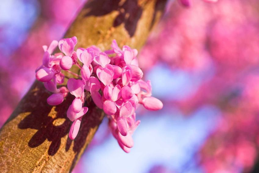 Judaszowiec kanadyjski to niewysoki krzew. Sadzonki judaszowca sadzi się wiosną, by zdążyły się przyjąć przed zimą.