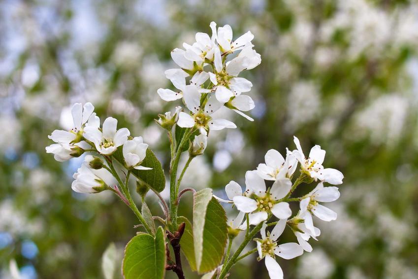 Gałązka świdośliwy kanadyjskiej obsypana kwiatami w białym kolorze i drobnymi zielonymi liśćmi na tle rozmazanych gałązek świdośliwy