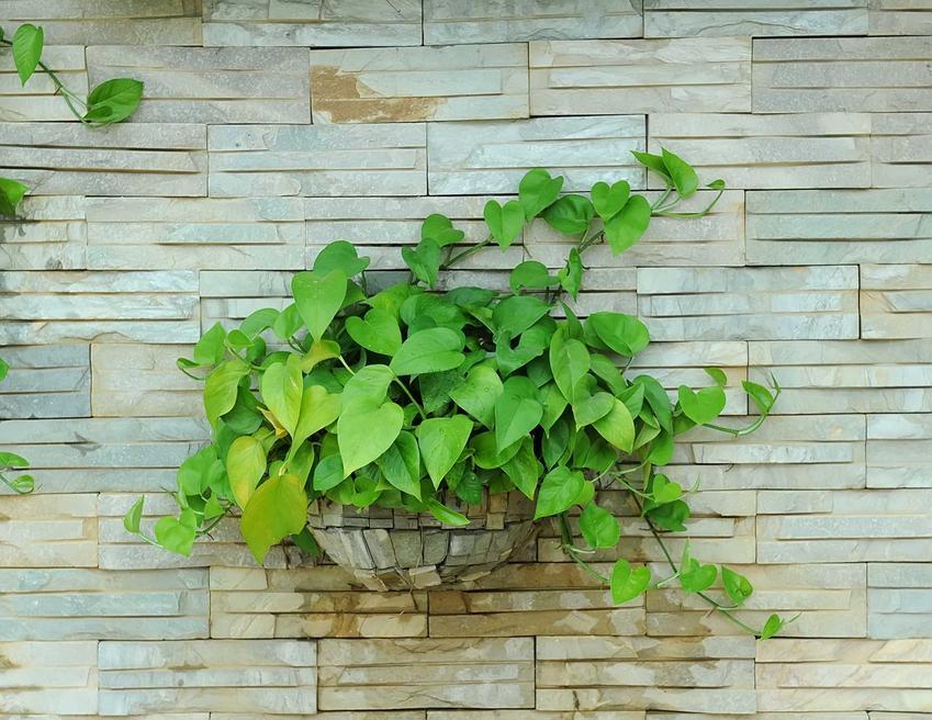 Scindapsus - idealne pnącze do domu - odmiany, uprawa, pielęgnacja, rozmnażanie
