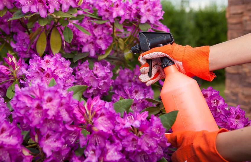 Choroby rododendronów - co warto wiedzieć, jak leczyć