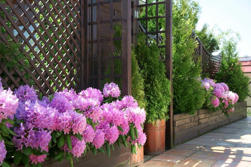 Rododendron czyli różanecznik w ogrodzie i na balkonie nie ma dużych wymagań. Dobrze czuje się w doniczkach, musi mieć dość zasobną glebę