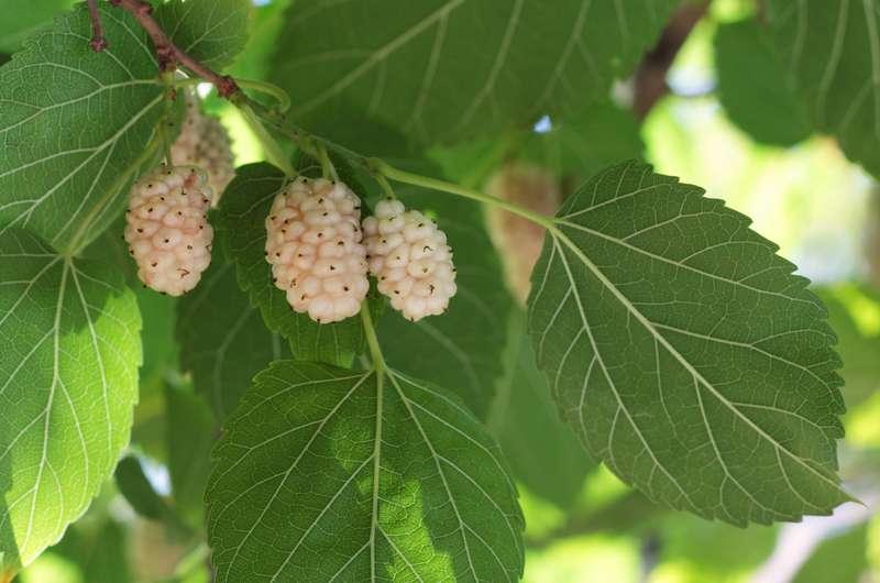 Owoce i liście morwy białej, z łac. Morus alba, warunki uprawy, pielęgnacja, sadzenie oraz właściwości lecznicze i zastosowanie
