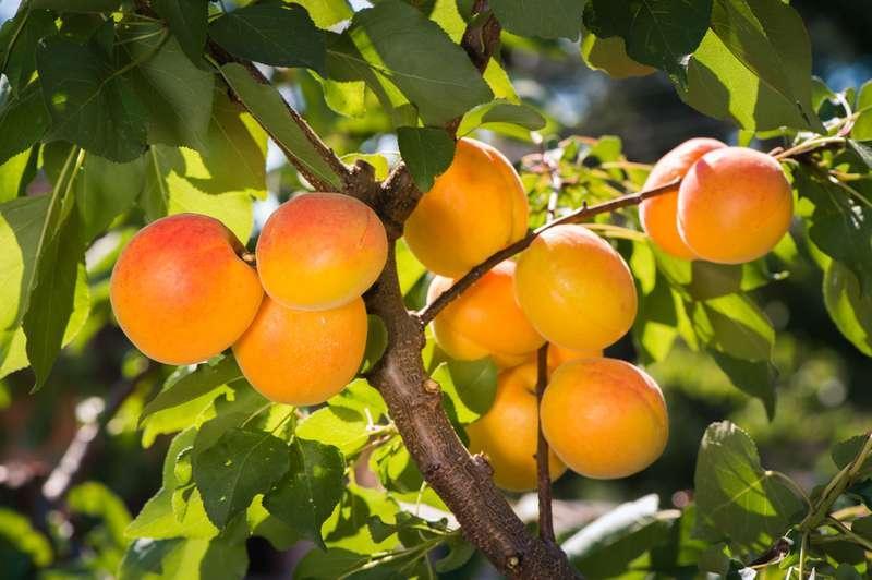 Pomarańczowe morele na drzewie, a także odmiany moreli najlepsze do ogrodu, pielęgnacja, uprawa, zastosowanie