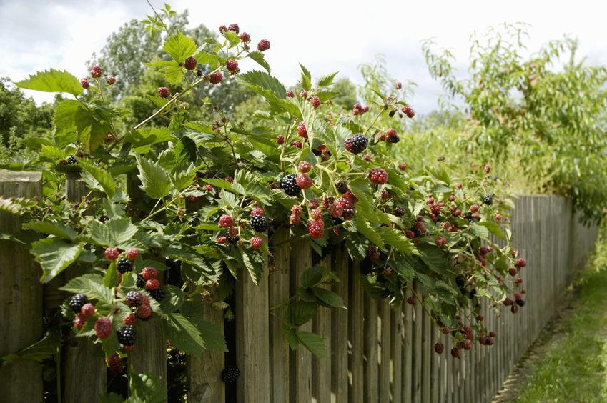 Jeżyna bezkolcowa - sadzenie, uprawa, pielęgnacja