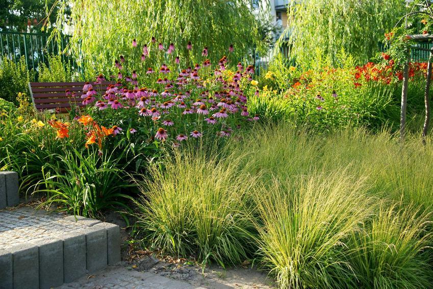 Jeżówka purpurowa bardzo dobrze wygląda w ogrodzie. Ma ładny pokrój, a także właściwości lecznicze, dlatego warto ją uprawiać.