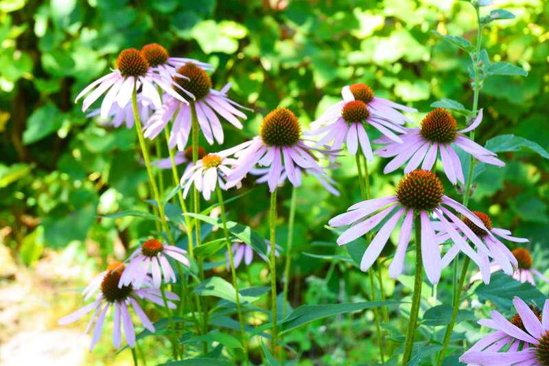 Fioletowe kwiaty jeżówki purpurowej, a także sadzenie, pielęgnacja, uprawa oraz wymagania kwiatów jeżówka purpurowa