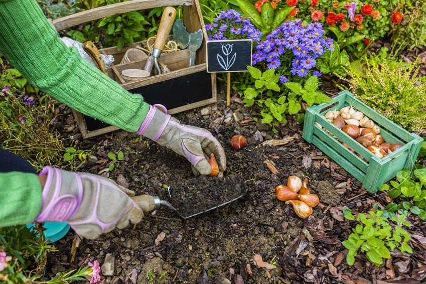 Cebulki irysów mogą zostać w ziemi na zimę, ale co jakiś czas cebule należy wykopać i oczyścić. Cebulki są drobne i dobrze zimują w trocinach.