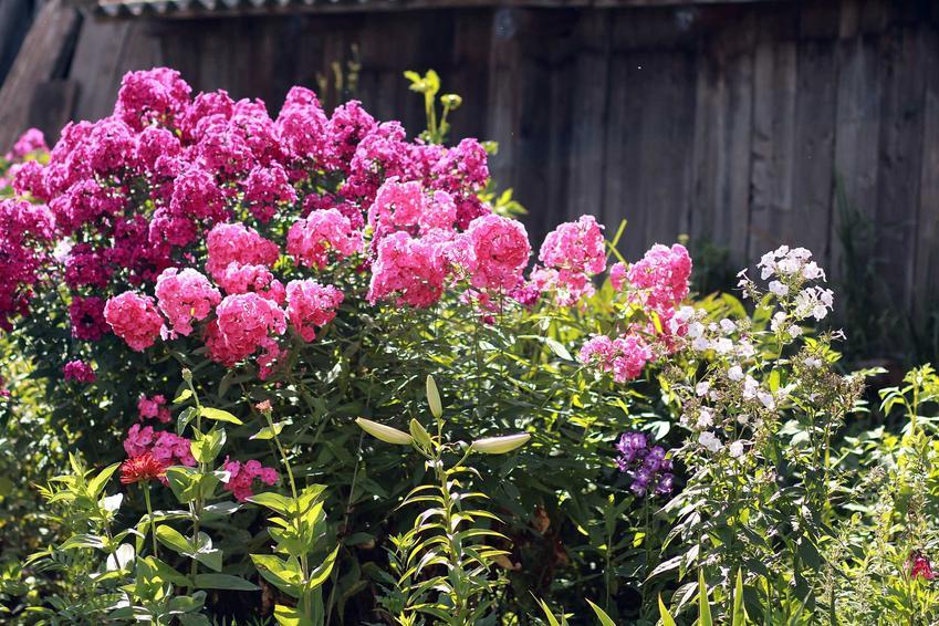 Floks wiechowaty to przepiękan kępowa roślina, której uprawa jest bardzo prosta w naszych warunkach klimatycznych. Floksy mają niewielkie wymagania